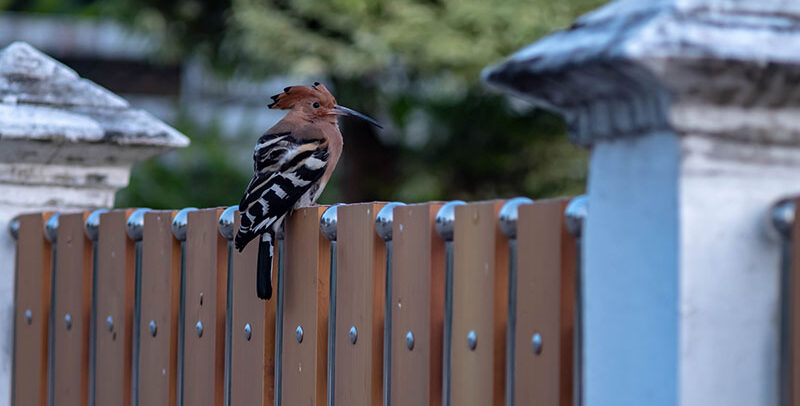 woodpeckers and siding